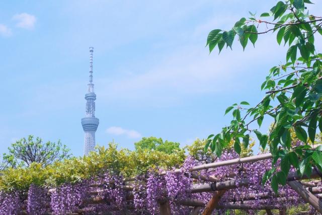 亀戸天神は梅・藤の花が大人気。