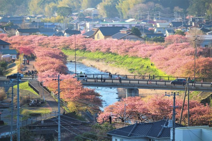 涅槃堂から眺める河津桜